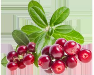 Брусника ягода картинка 3